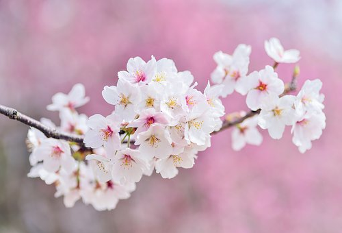 お香 桜 効果